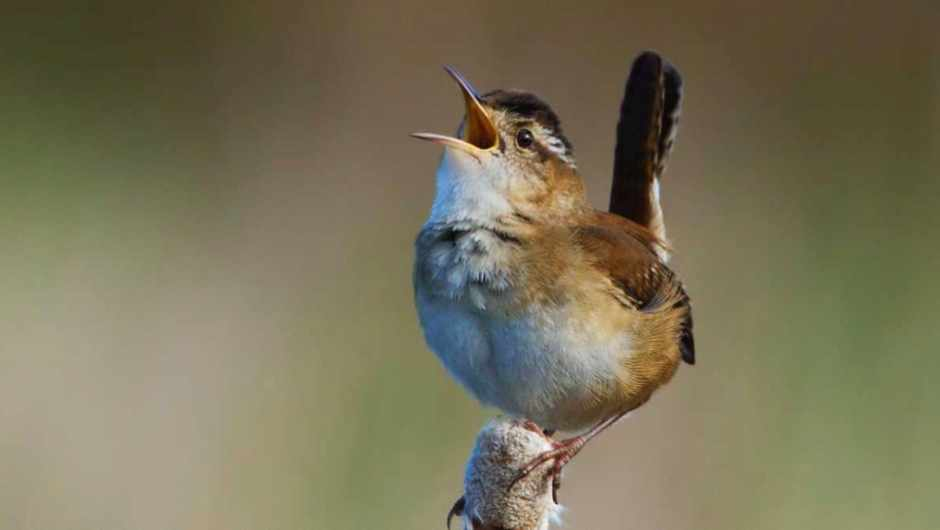 Can different bird species understand each other's songs? © Getty Images