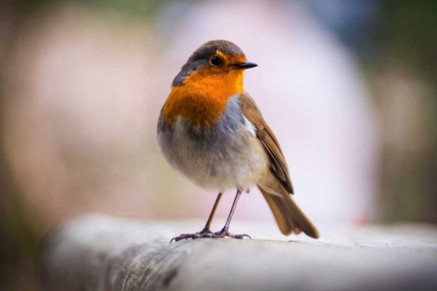 Why do robins have red breasts? © Getty Images