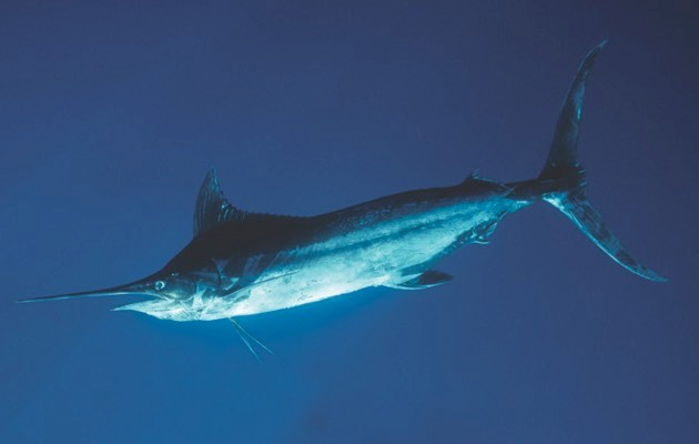 Black Marlin © Getty Images