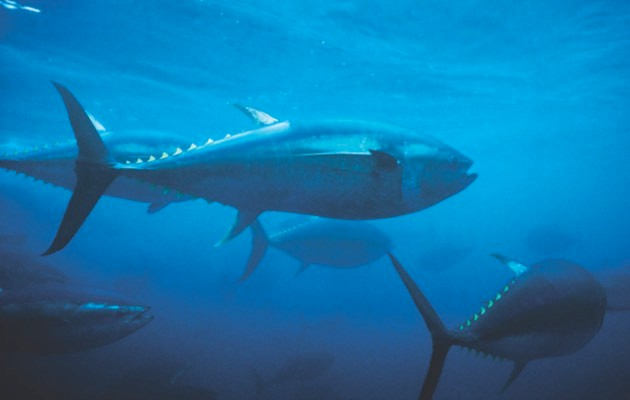 Atlantic bluefin tuna © Getty Images