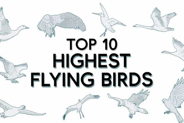 Top 10: what are the highest flying birds?