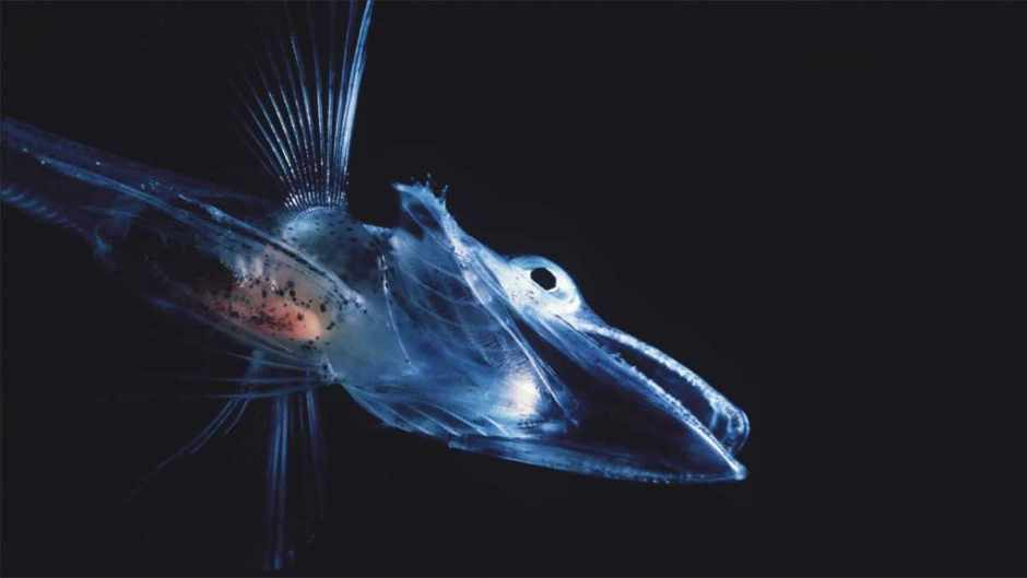 Why do some fish have colourless blood?