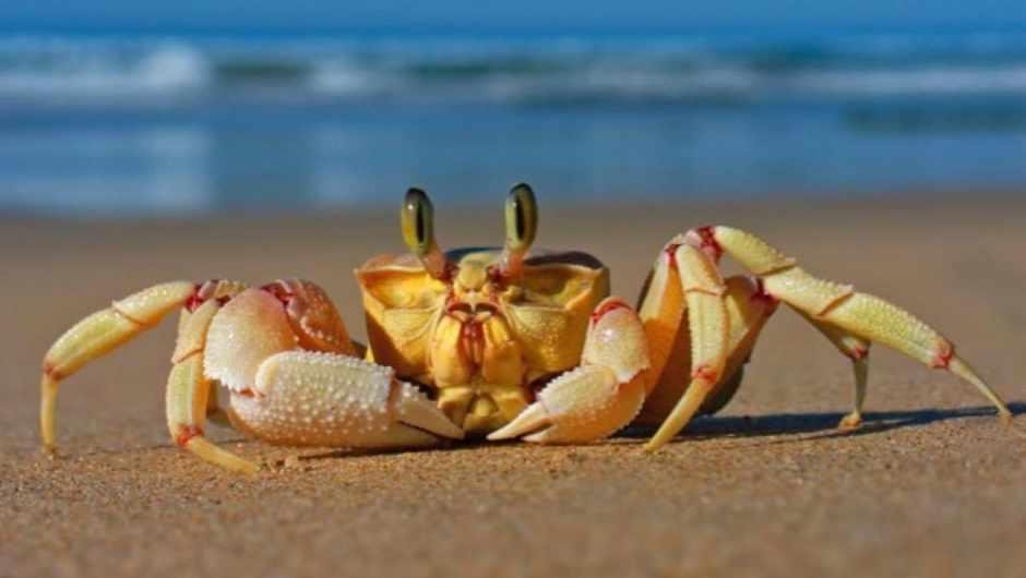 Why do crabs walk sideways? © iStock