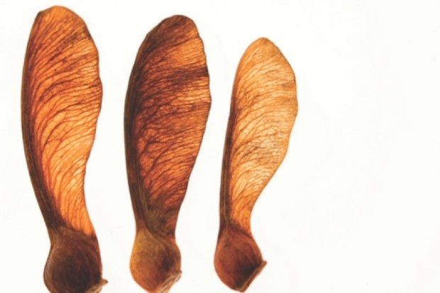 How did winged seeds evolve? © iStock