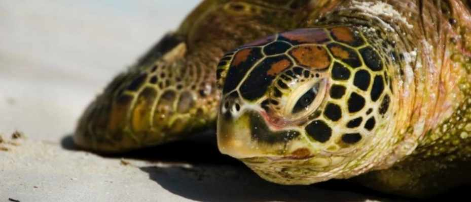 Why do sea turtles cry when they lay eggs? - BBC Science