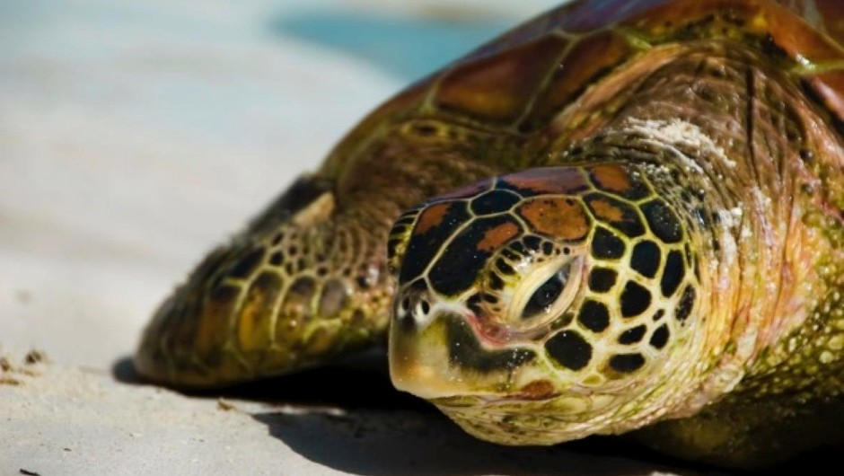 Why do sea turtles cry when they lay eggs? © iStock