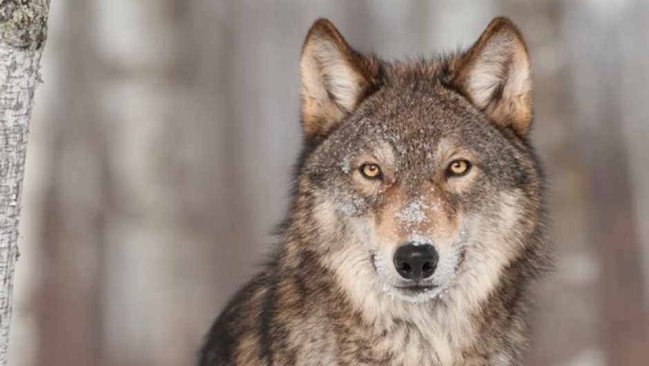 How did humans tame wolves? © iStock