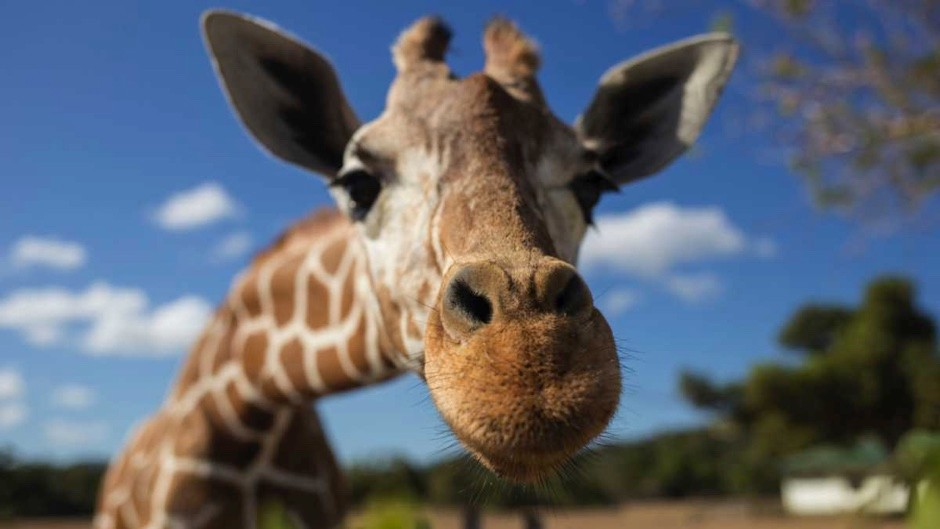 Why do giraffes have such long necks? © Getty Images