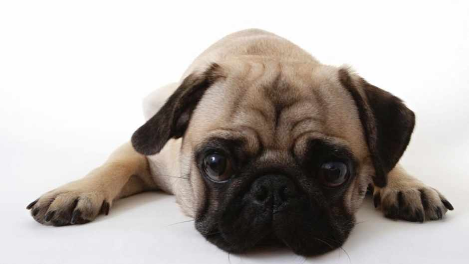 Why have dogs evolved to hear higher pitches than us? © iStock