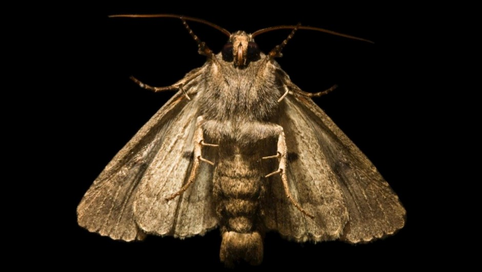 What's the powder on a moth's wings? © iStock