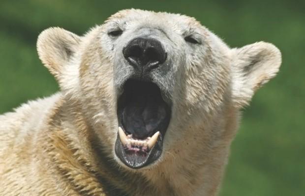 Polar bear © iStock