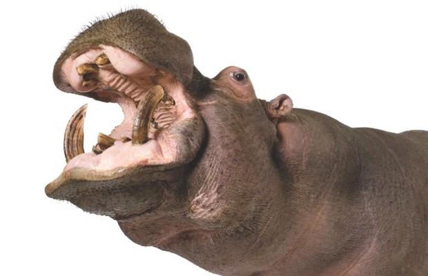 Hippopotamus © iStock