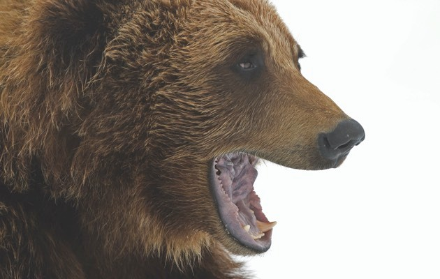 Grizzly bear © iStock