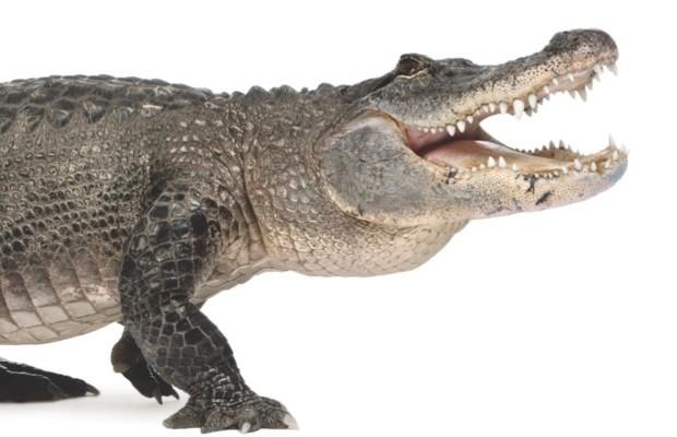 American alligator ©iStock