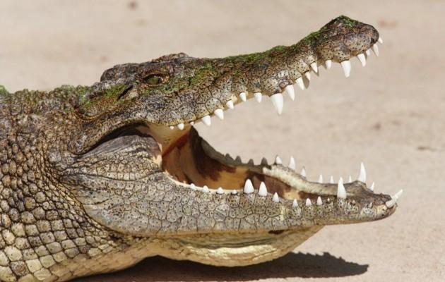 Nile crocodile © iStock