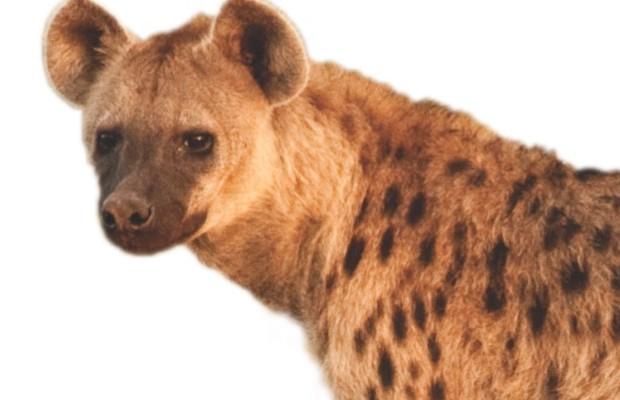 Hyena © iStock