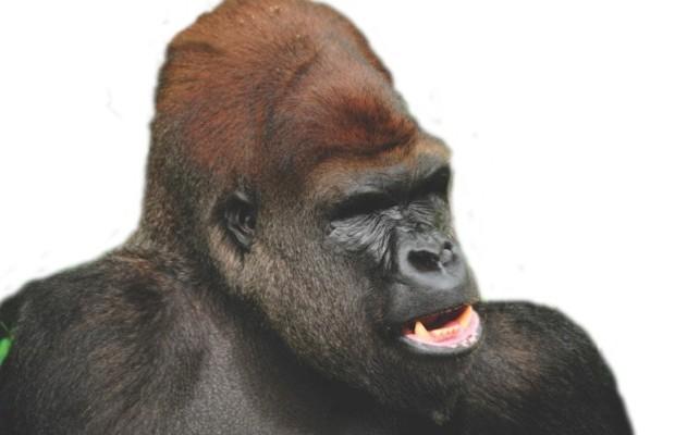 Gorilla © iStock