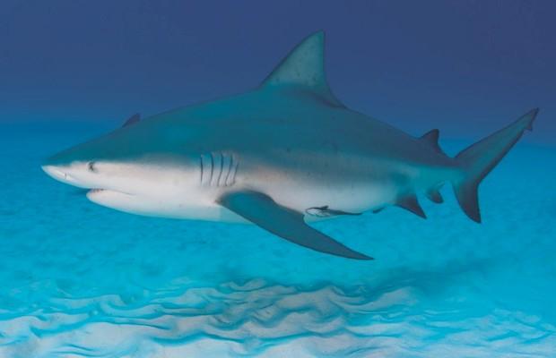 Bull shark © iStock