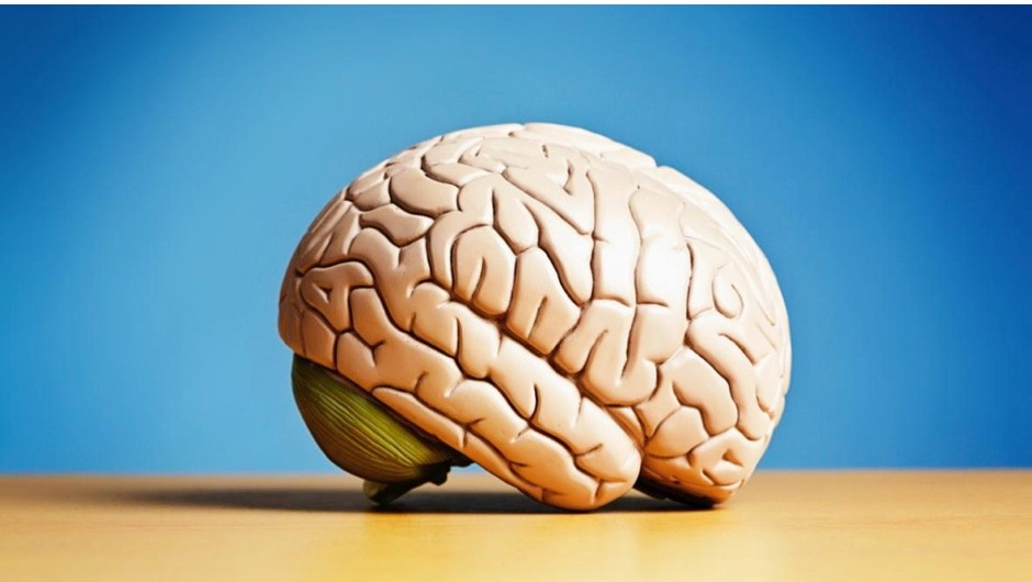 Why aren't animals with larger brains more intelligent than us? © iStock