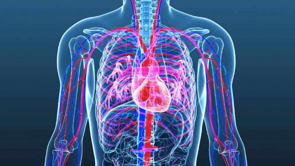 Does a human heart have a finite number of beats? - Science Focus ...
