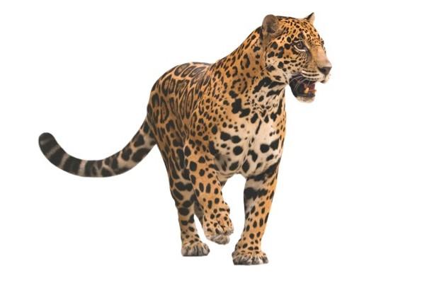 Jaguar © iStock