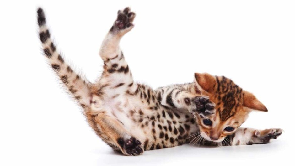 What is the maximum height a cat can fall from and survive? © iStock
