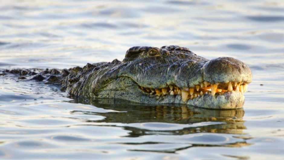 Which animal has the strongest jaws? © iStock