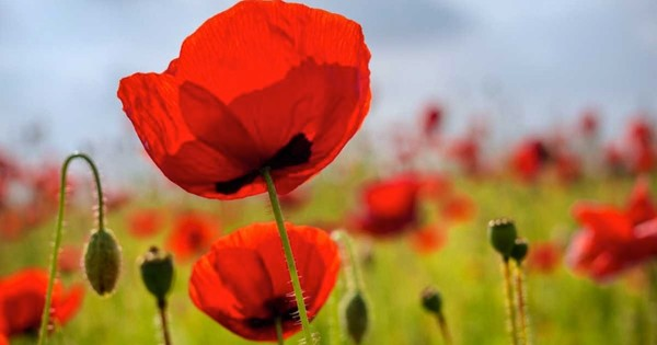 Why do poppy flowers open in the morning and close at night?