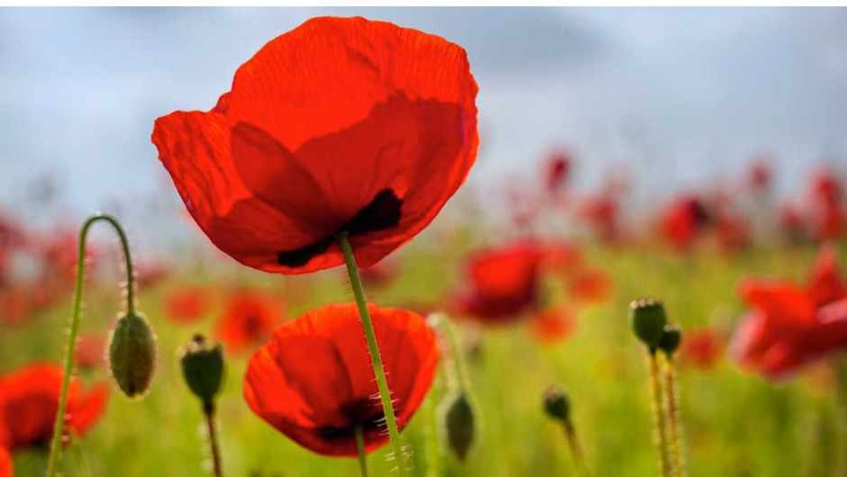 Why do poppy flowers open in the morning and close at night? © iStock