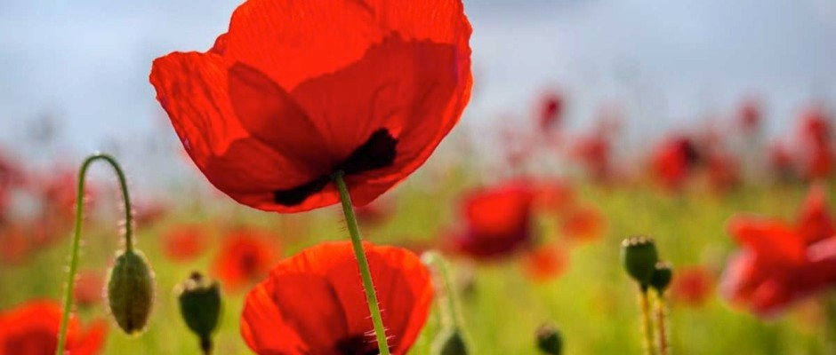 Why Do Poppy Flowers Open In The Morning And Close At Night Bbc