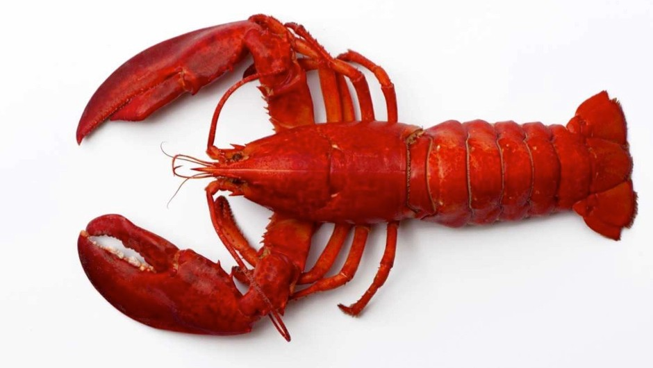 Why are lobsters cooked alive and do they feel pain?