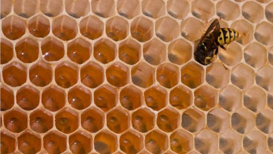 Do wasps make honey? © iStock