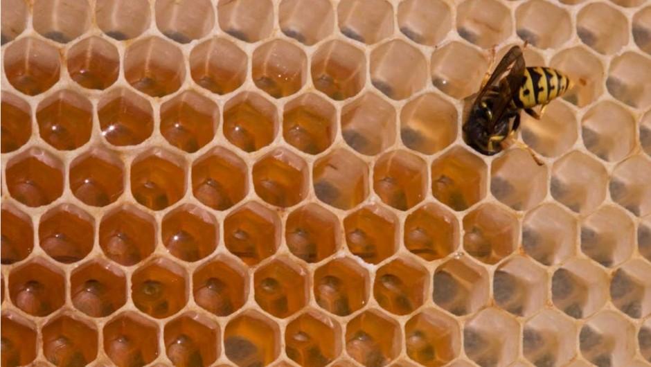 Do wasps make honey? © iStock