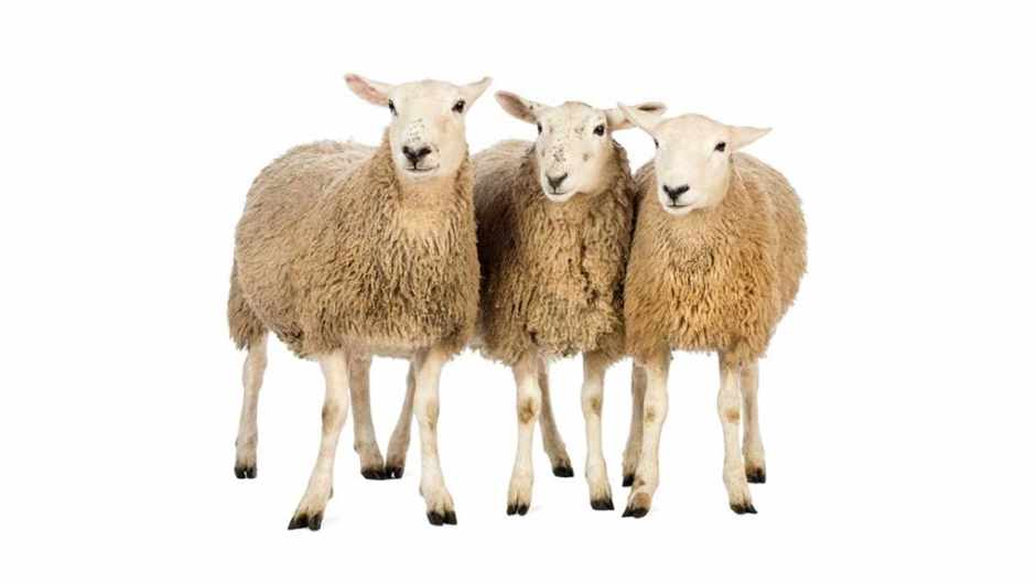 Why do sheep all face the same way in a field? © iStock