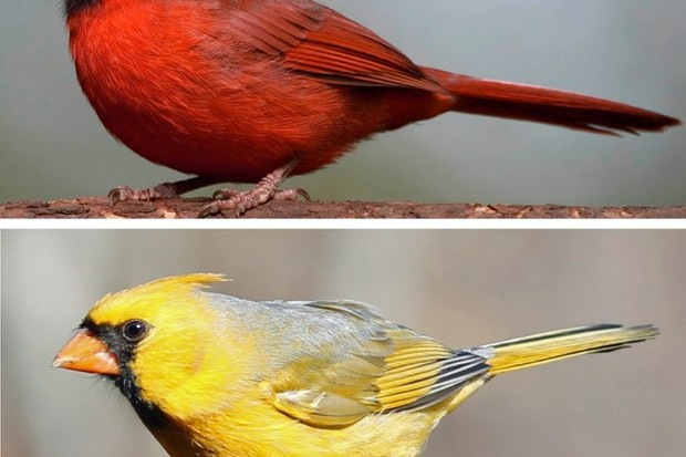 A Red and Yellow Cardinal © Geoffrey E. Hill (red cardinal) and Jim McCormac (yellow cardinal)
