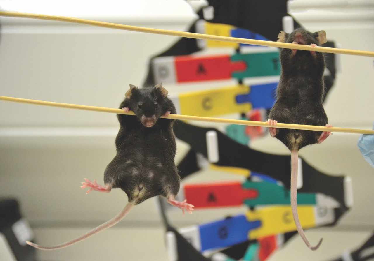 Male mice turned into females using DNA previously thought to be 'junk' © Greta Keenan, Francis Crick Institute.