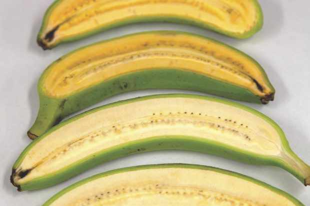 The golden banana (top) is a more orange colour than a standard banana (bottom), thanks to higher levels of provitamin A. These engineered bananas could be used to improve the nutritional content of bananas in Uganda, where the fruit makes up a major part of the diet © QUT