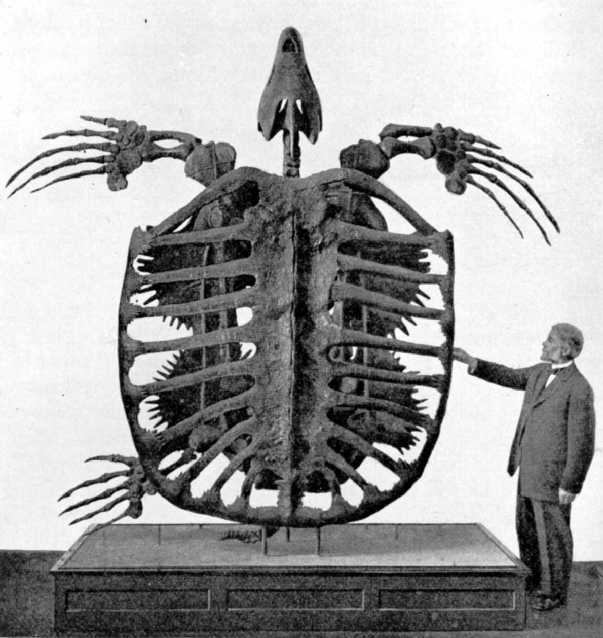 Archelon skeleton By Frederic A. Lucas,Public domain, via Wikimedia Commons
