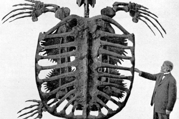 Archelon skeleton By Frederic A. Lucas,Public domain, via Wikimedia Commons