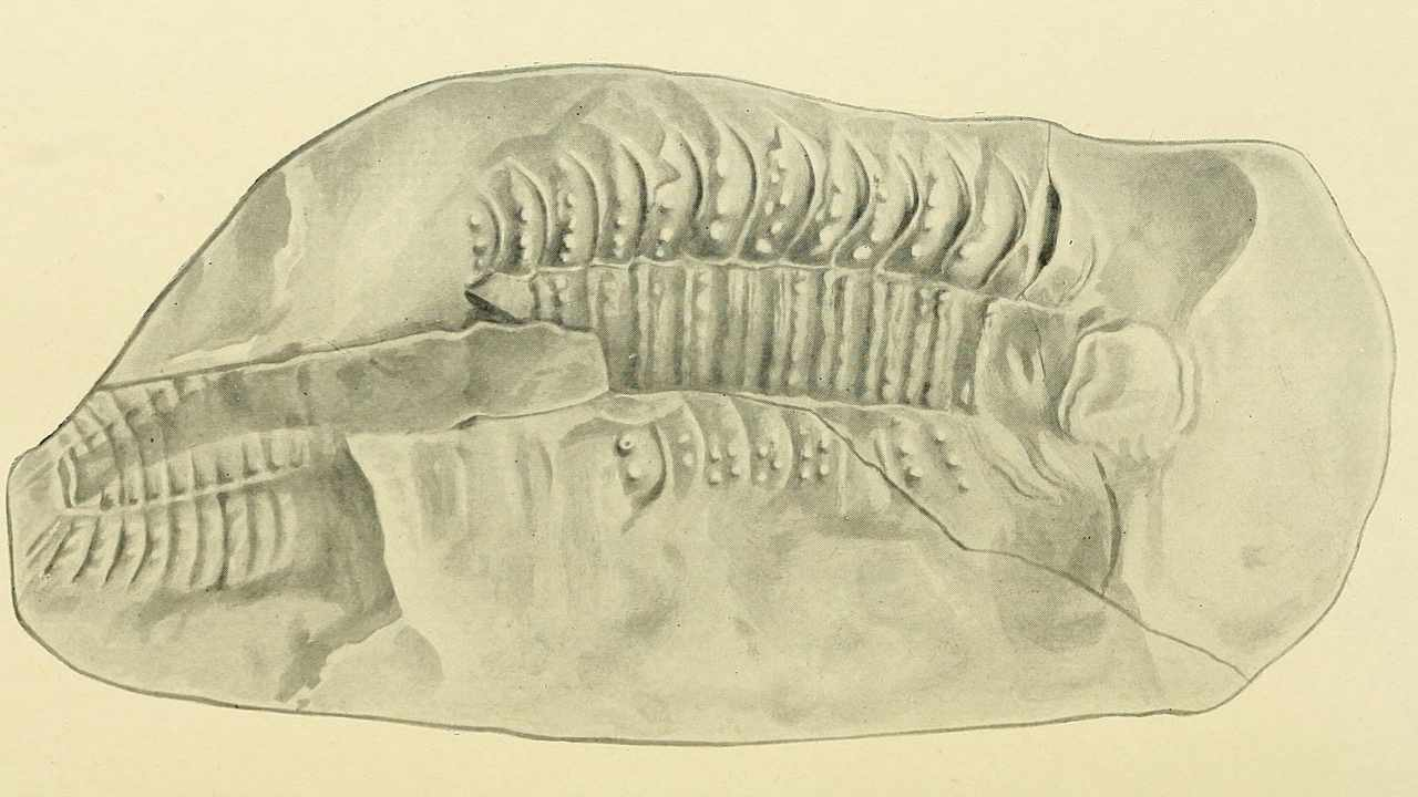 Arthropleura By W. T. Calman, Public domain, via Wikimedia Commons