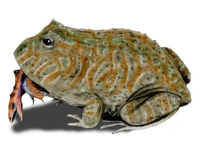 Beelzebufo By Nobu Tamura (http://spinops.blogspot.com) (Own work), GFDL or CC BY 3.0, via Wikimedia Commons
