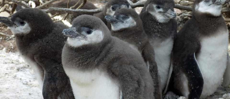 Climate change: is it too late for Pingu and pals? © Dee Boersma/U of Washington