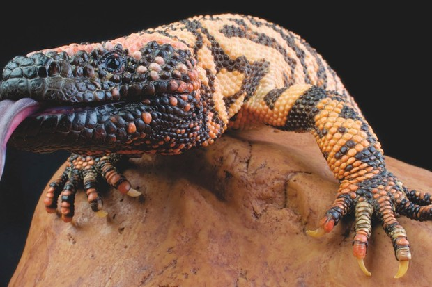 The last known human fatality from a Gila monster bite was in 1939 © Alamy