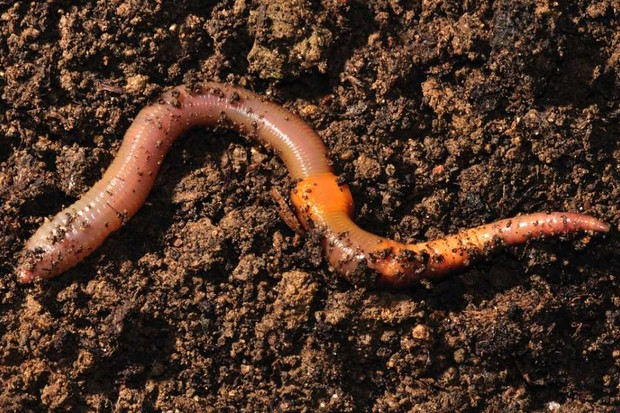 Can a worm cut in half sense anything? © Getty Images