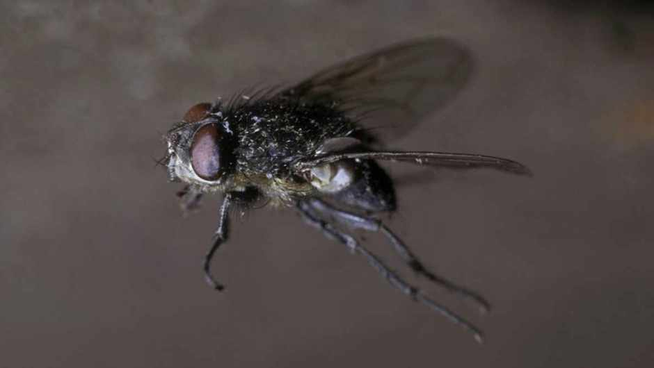 How fast can a housefly 