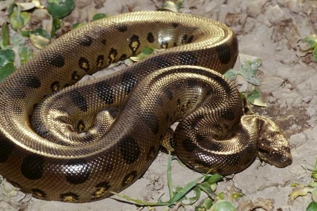 Green Anaconda © Getty Images