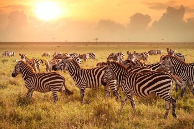 Are zebras black with white stripes or white with black stripes? © Getty Images