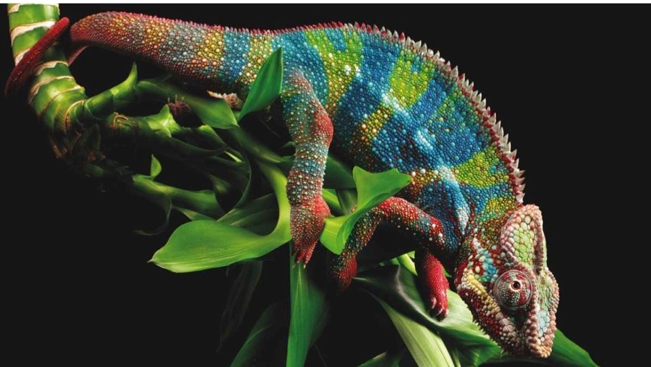 How do chameleons change colour? © Getty Images