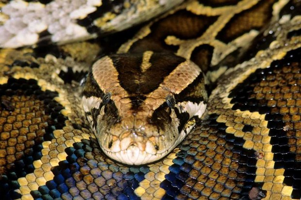 Burmese Python © Getty Images