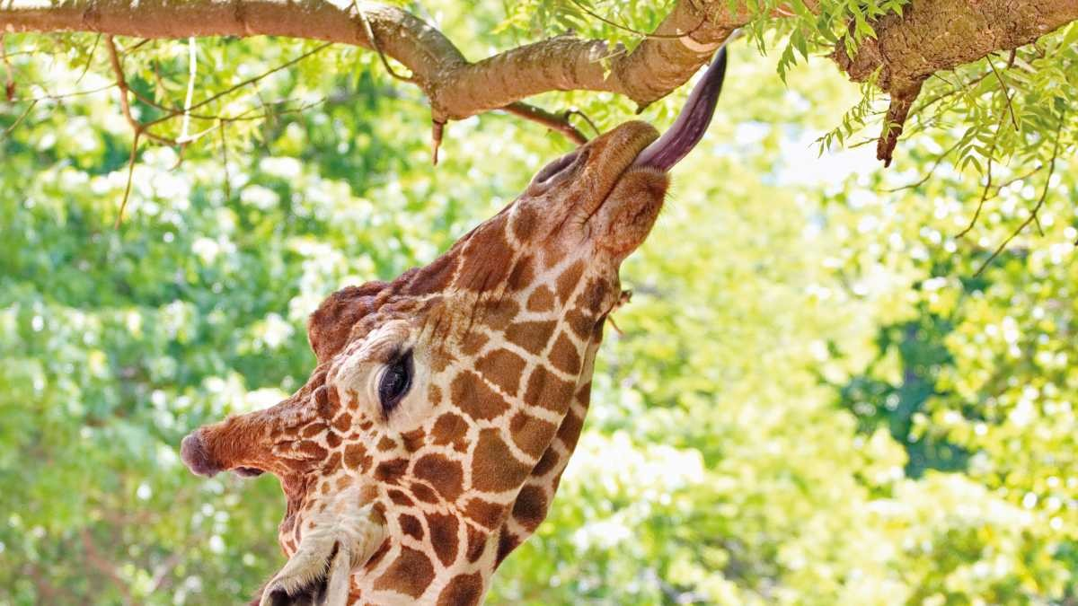 Why do giraffes have purple tongues? © Getty Images